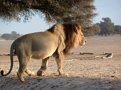 lion walking on desert near tree