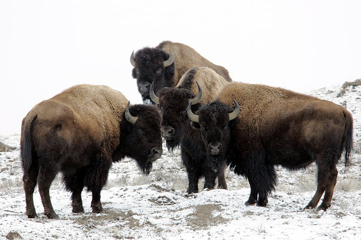 four black-and-brown American Bisons on snow