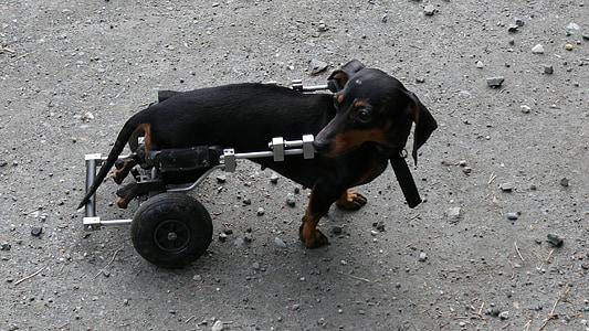 Dachshund with walking brace ]