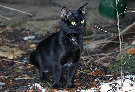 short-fur black cat