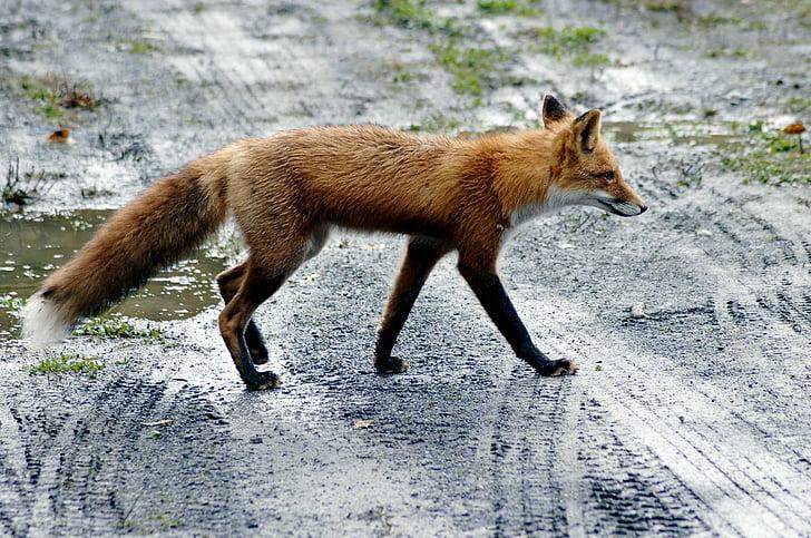 photograph of fox walks on wet dirt pathway