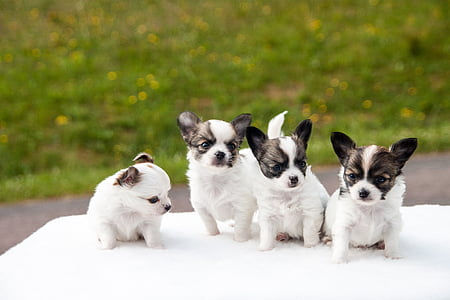 four white-and-brown shih tzu puppies