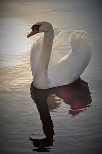 white swan in body of water during daytime