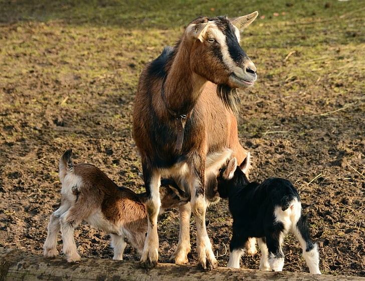 goat with two goat kid on brown ground
