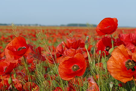 red poppy flower field under grey sky