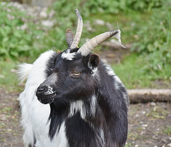 black and white goat in closeup photography