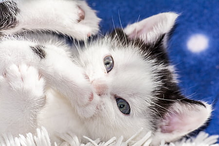 white and black kitten