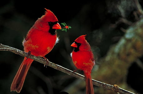 two Cardinal birds on tree branch