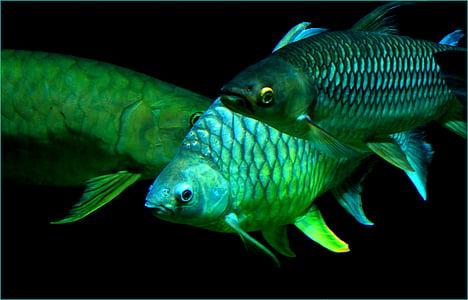 three green fish