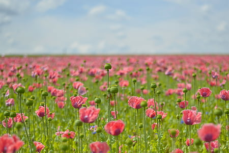 bed of pink poppy flowers