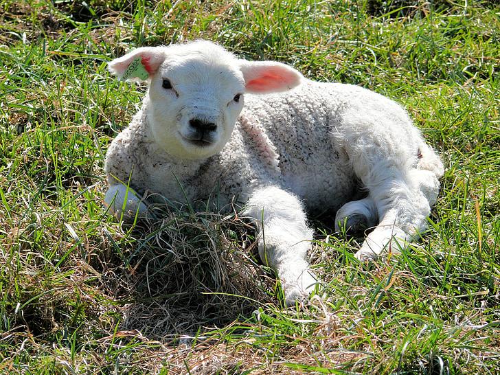 white sheep on grass