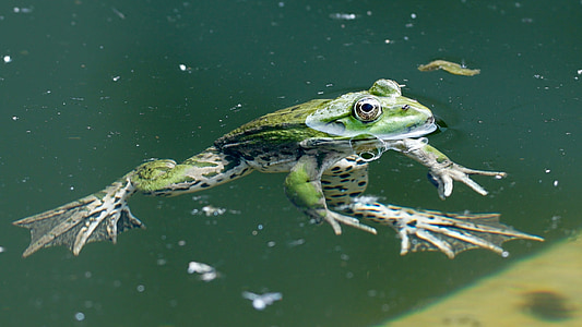 green frog floating above water level