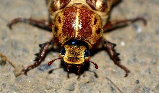 macro photo of brown beetle