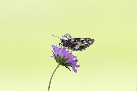 marble white butterfly perched on purple flower