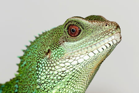 green and black lizard