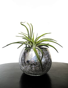 potted green snake plant