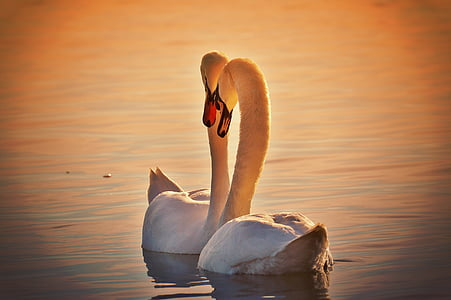 silhouette photo of mute swans on body of water