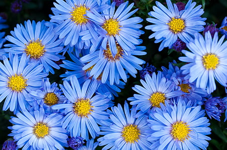 blue daisy flowers in closeup photography