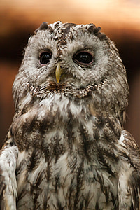 gray and black barn owl in closeup photography
