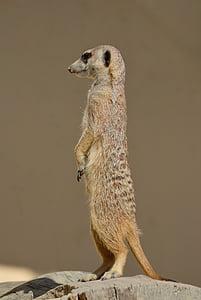 brown meerkat
