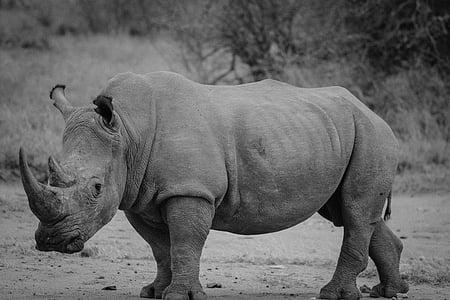 grayscale photography of rhino