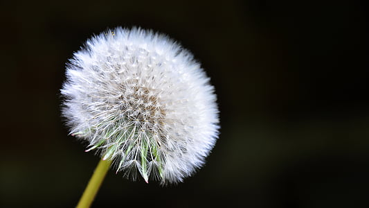 dandelion with black background