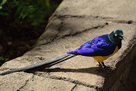 purple and yellow bird with long tail