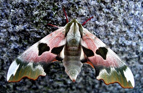 pink and green hawk moth in close-up photography