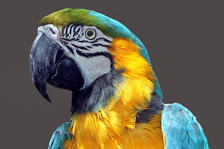 photo of blue and gold macaw