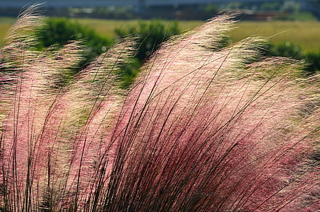 red-and-white fountain grasses