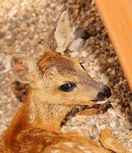 brown deer sitting on pebble stones