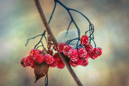 selective focus photography of red berries