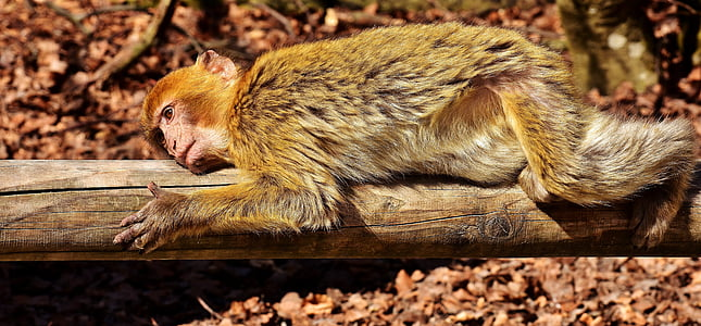 brown and white monkey lying on tree log