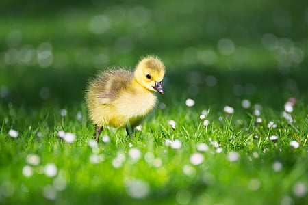 yellow duckling on green and white grass at daytime