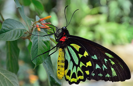 black, green, and yellow butterfly perched on green leaf plant