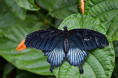 black and white papilio butterfly on green leaf