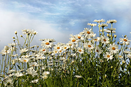 daisy meadow under cloudy blue sky during daytime