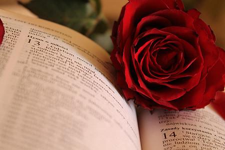 red rose on opened book