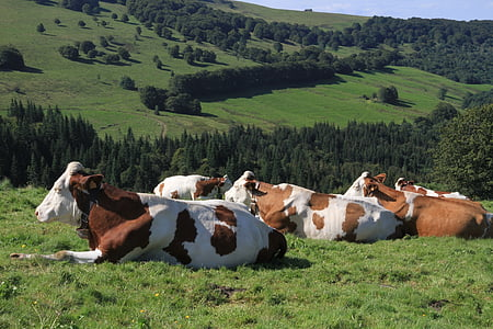 herd of hereford cattles