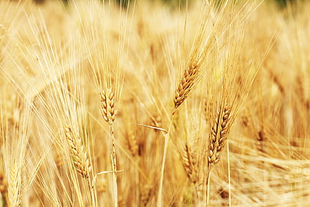 brown wheat in shallow focus photography