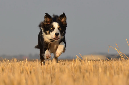 border collie running on field