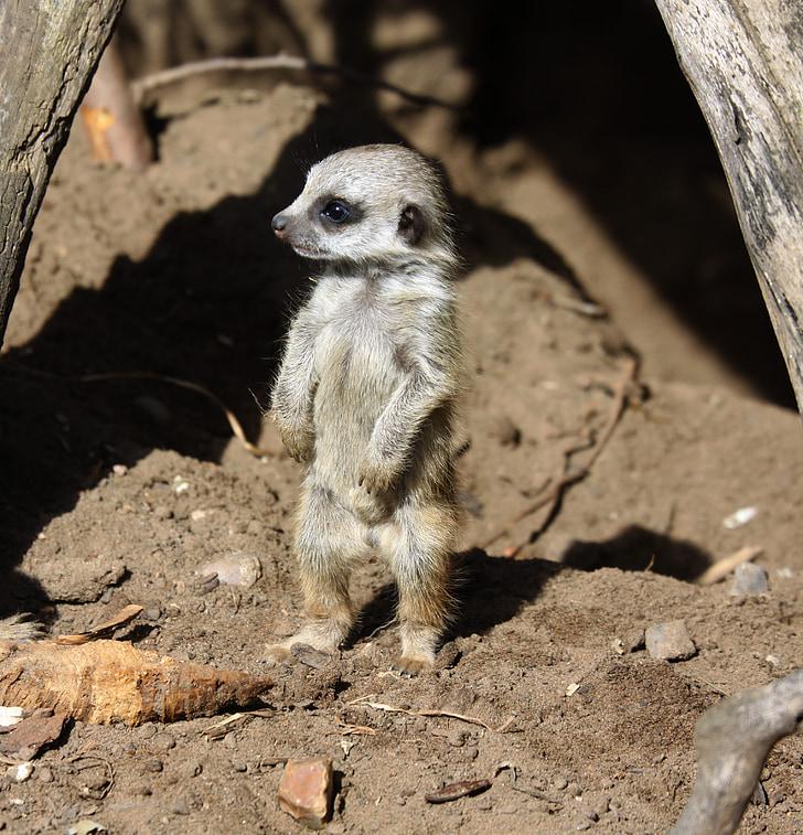 selective focus photography of gray meerkat