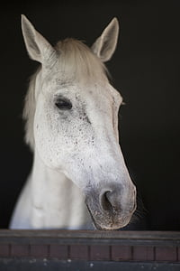 macro photography of white horse in stable