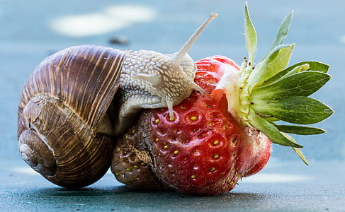 brown snail on green strawberry close-up photo