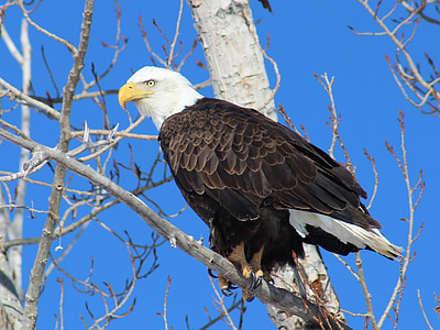 black and white American eagle on tree