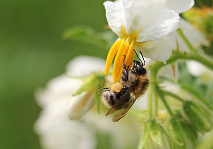 honeybee pollinating on white petaled flower