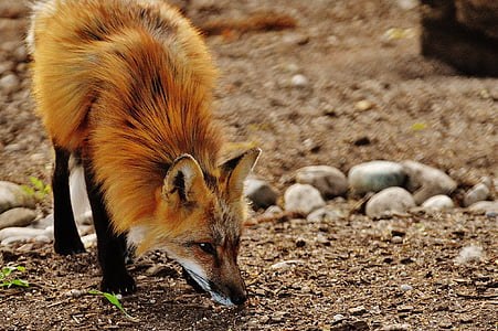 brown fox sniffing the ground