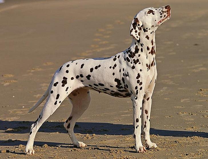 adult white and black Dalmatian