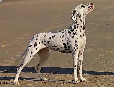 adult white and black Dalmatian