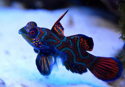 orange and blue fish